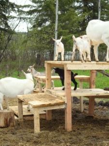 baby goat 5 (2) - Copy