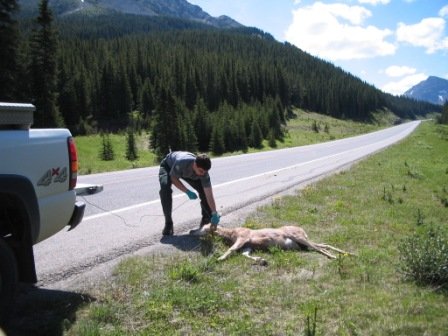 9-Conservation officer in PL Provincial Park - cleaning up road kill